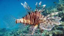 Red Sea, Lion fish (Pterois antennata) Egypt, Hurghada, ... by Maestro Protic