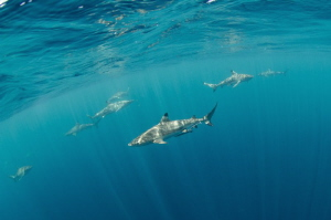Blacktip reef sharks are patrolling water around dive boa... by Dmitry Starostenkov