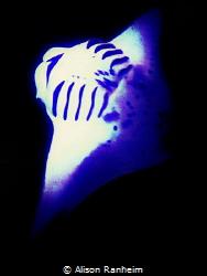 Manta at night by Alison Ranheim