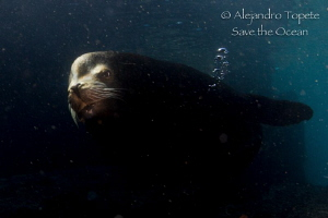 Male Sea Lion in the shadow, La Paz mexico by Alejandro Topete