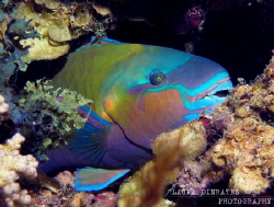 Colourful sleeping parrotfish by Laura Dinraths
