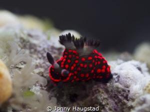 Nudibranch Bohol, Philippines! by Jonny Haugstad