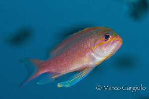 Rose mediterranean damselfish by Marco Gargiulo