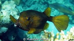 Boxfish (Ostracion cubicus) Egypt, Hurghada, Sahl Hashee... by Maestro Protic