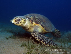 Hawksbill turtle feeding on a field of brown algae by Laura Dinraths
