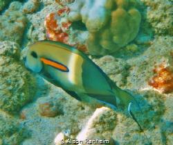 Orangeband Surgeonfish Hawaii by Alison Ranheim