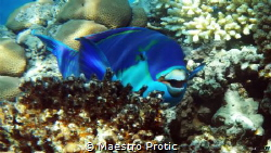 Daylight photo under 5m..Steepheaded Parrotfish (Scarus g... by Maestro Protic