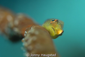Whip Coral Goby by Jonny Haugstad