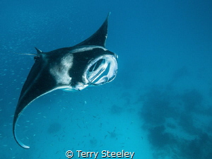 Manta magic! A wonderful treat as we share time with the ... by Terry Steeley