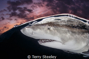 Lemon Shark evening split Subal underwater housing Canon 1Dx EF 815mm15mm f11 1160 ISO400 ambient light Inon Z240 strobe 8-15mm@15mm, 815mm@15mm, 15mm@15mm, 1/160, 1160, 160,