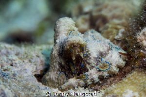 Got extremely lucky today. BRO Blue-Ringed Octopus :-) by Jonny Haugstad