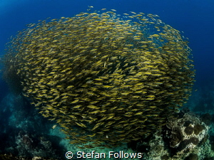 The Hive ... Oxeye Scad - Selar boops. Sail Rock, Thailan... by Stefan Follows