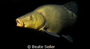 Tench swimming by by Beate Seiler
