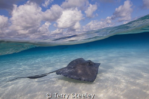 Stingray cruises the sandbar. Stingray City. by Terry Steeley