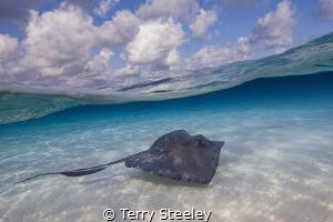 Stingray cruises the sandbar. Stingray City. by Terry Steeley