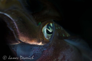 About the eye / Squid by James Deverich