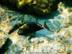 Orange Spined Tang Hawaii by Alison Ranheim