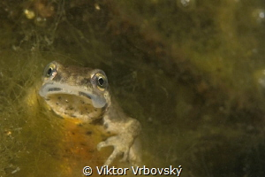 Smooth (Common) Newt (Lissotriton vulgaris) - female by Viktor Vrbovský