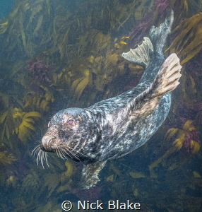 Atlantic Grey Seal, Longships Seal Colony, Lands End, Cor... by Nick Blake