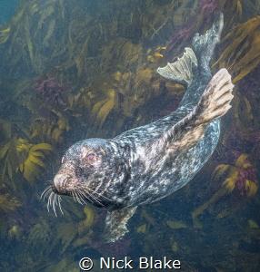 Atlantic Grey Seal, Longships Seal Colony, Lands End, Cor... by Nick Blake
