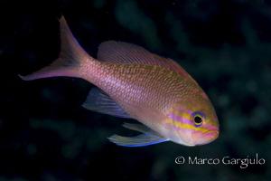 Pink Mediterranean Damsel fish by Marco Gargiulo