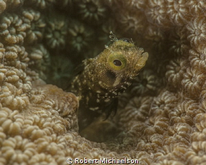 Secretary Blennie at Capt Don's Bonaire. Nikon D90 with d... by Robert Michaelson