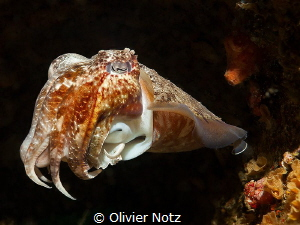 Cuttlefish underneath the Busselton Jetty by Olivier Notz
