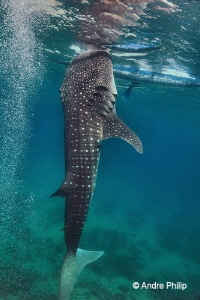 """Stand up for some food"" - Whaleshark in Oslob