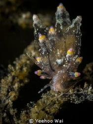 Eubranchus mandapamensis Anilao, Philippines by Yeehoo Wai