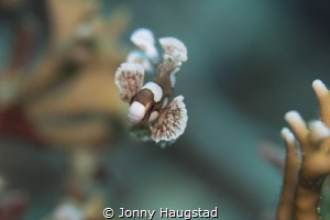 Juvenile Sweetlips. Bohol Philippines. by Jonny Haugstad