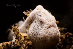 """Moody White Frogfish"" by Wayne Jones"