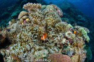 Clown fish in his pinnacle home by Leena Roy