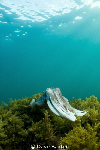 giant cuttlefish enjoying the last rays of autumn sun by Dave Baxter