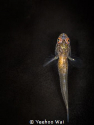 A whip goby resting on coral. by Yeehoo Wai