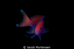 I was on a hunt for a front shot of a Squarespot Anthias ... by Jacob Mortensen