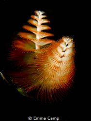 Christmas Tree Worm by Emma Camp