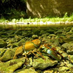 signal crayfish (Pacifastacus leniusculus), testing Nikon... by Mathieu Foulquié