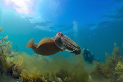 A Giant Kiss (Whyalla South Australia) Cuttlefish mating ... by Bradley Kerslake