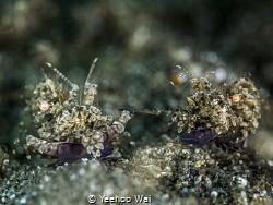 Simplex Shrimps (Phyllognathia simplex) Anilao, Phlippines by Yeehoo Wai