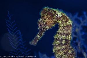 """Glow Party"" A backlit Seahorse in Little Cayman. Shot u... by Dusty Norman"