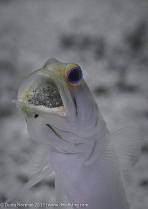 """""""Fathers Day"""" A Yellowhead Jaw Fish  with eggs in its mo... by Dusty Norman"""