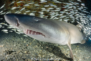 Sand Tiger Smile A sand tiger shark rests on the sea flo... by Tanya Houppermans