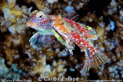 Morrison's dragonet, mating pair Fiji. Synchiropus morris... by Carlos Estape