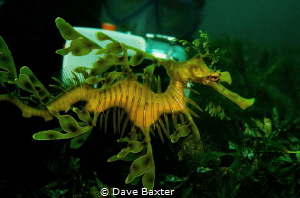 Leafy and diver by Dave Baxter