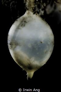 B A B Y  Baby cuttlefish egg (Sepiida) Perhentian Islan... by Irwin Ang