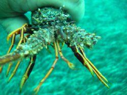 Lobster by Hakan Taslicay