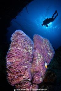 Purple Vase Sponges & Diver by Susannah H. Snowden-Smith