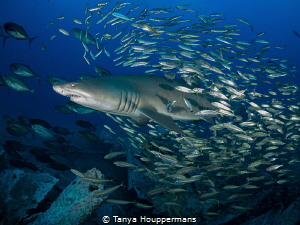 Bait Fish Blues Bait fish surround a sand tiger shark in... by Tanya Houppermans