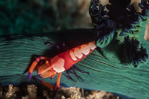 Hitchhiker  I was excited to come across this shrimp ta... by Robin Bateman