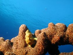 Frog fish on Curacao, playa kalki, nikon D100 light and m... by Martin Van Gestel